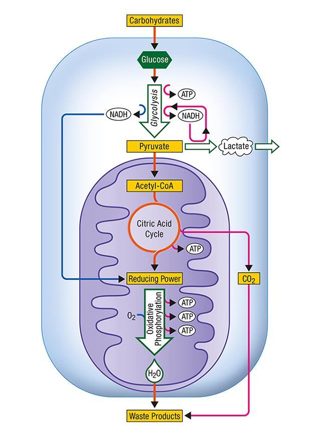 illustration métabolisme énergétique cellule