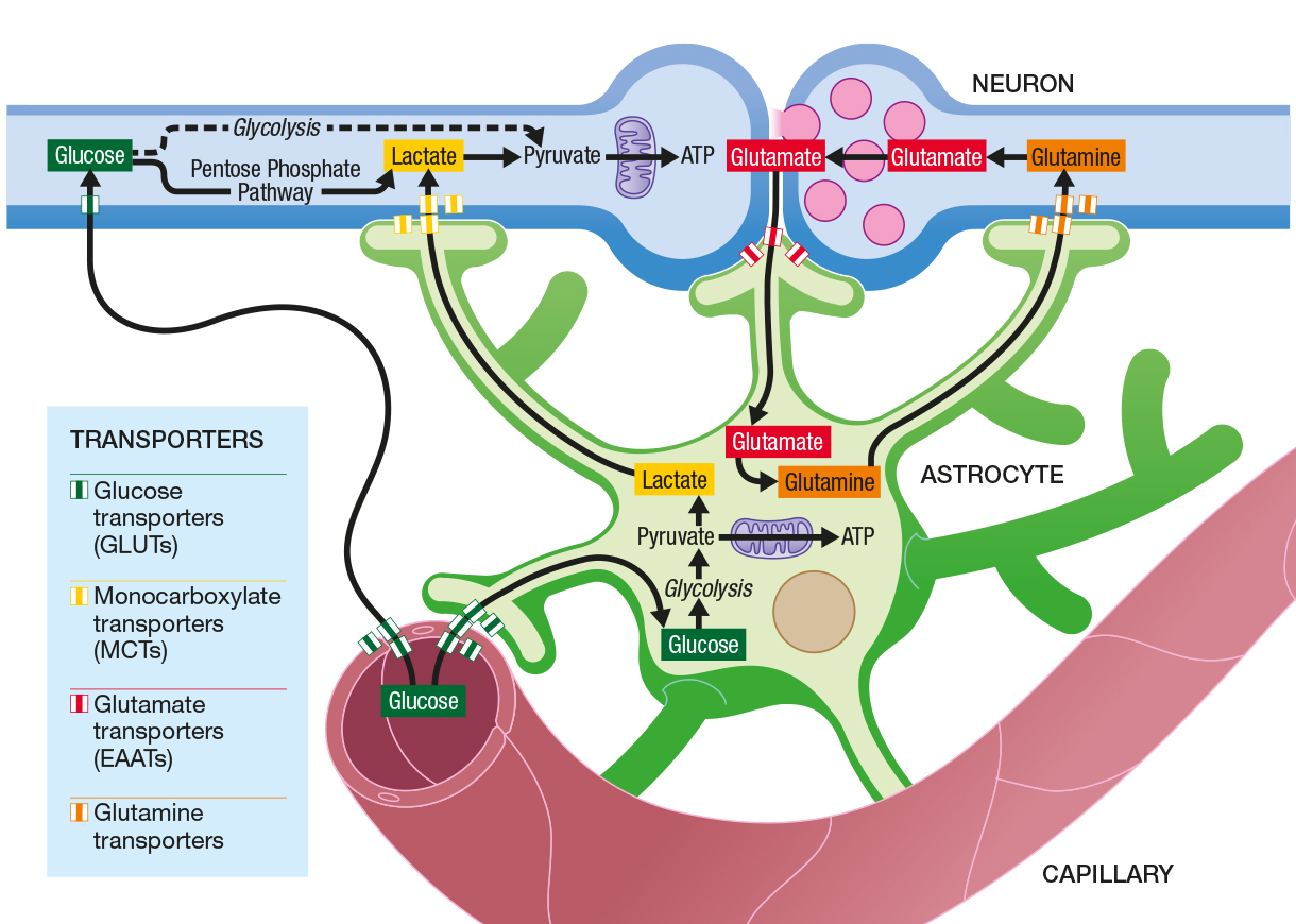 illustration neurone capillaire