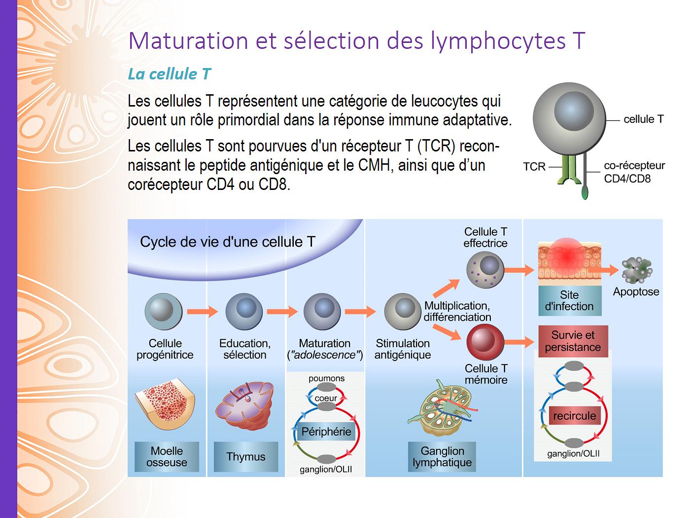 immunologie cours présentation illustration cellules